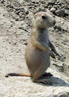 Prairie dogs are always entertaining.
