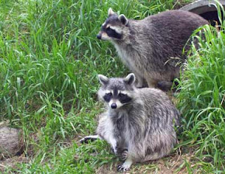 Two raccoons cooperated for a great photography session.