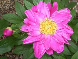 Large pink peony blossom.