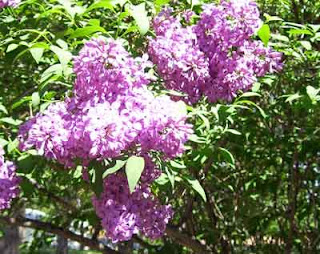 Lilac bush blooming in front yard.