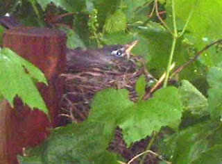Robin's nest placed upright again.