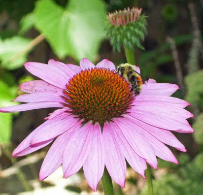 One of my coneflowers hosts a bee for dinner.