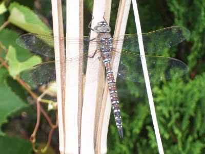 Dragonfly sunning itself in the garden.