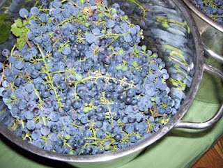 These Concord grapes will make great juice and jelly. Yum!