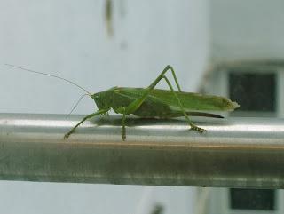 grasshopper (onemorehandbag)