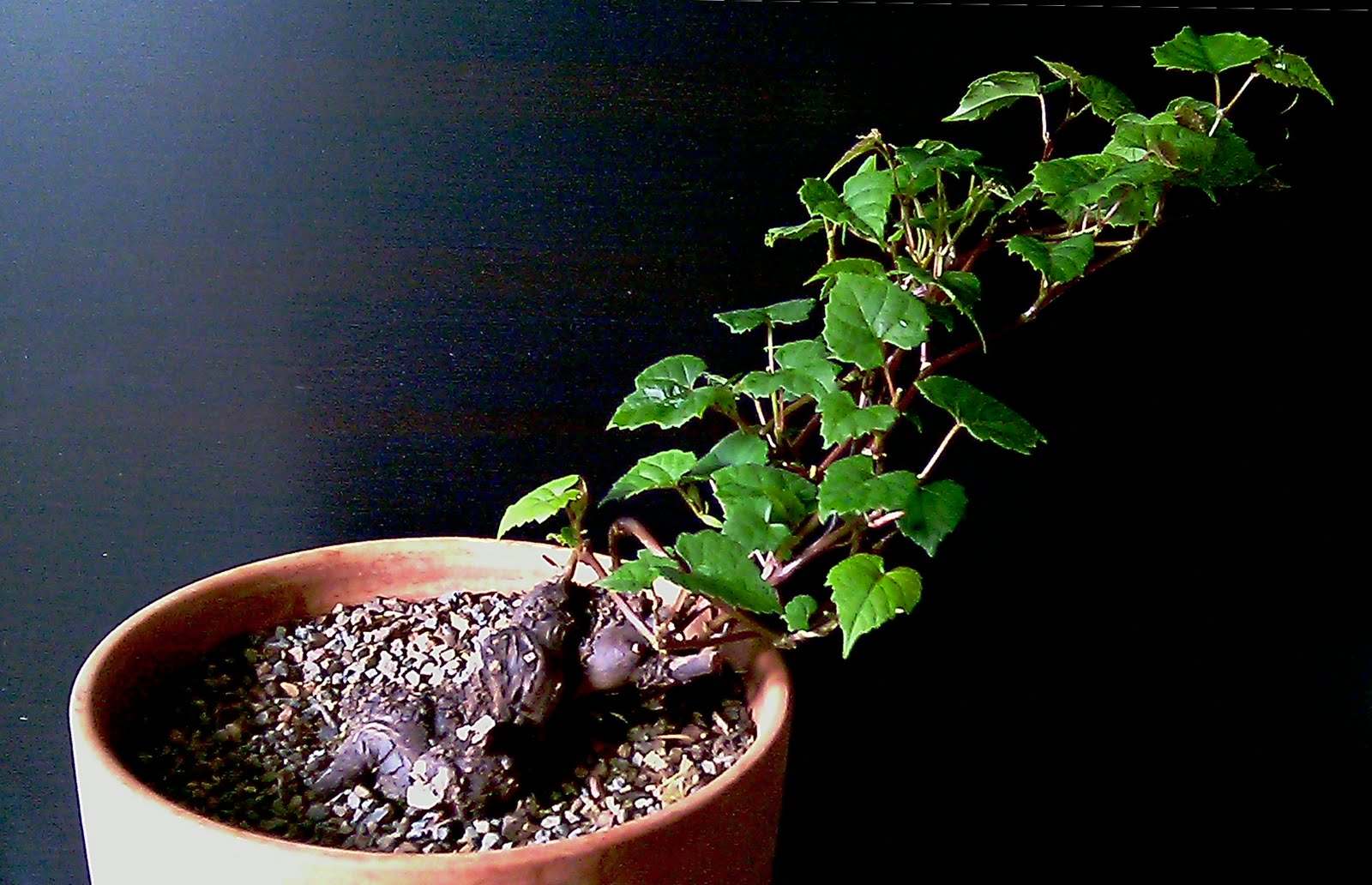 Bonsai Alec June 2010