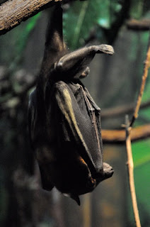 Straw-colored fruit bat (Eidolon helvum), Houston Zoo