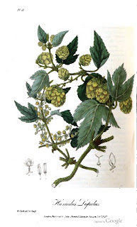 hops plate from medical botany or illustrations humulus lupulus