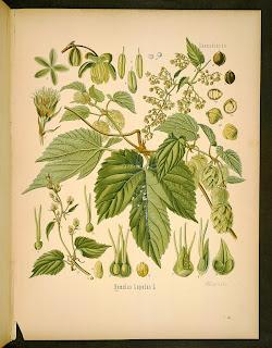 humulus lupulus illustration plate from kholers medizinal pflanzen
