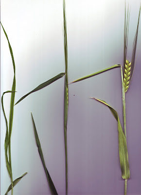 two row barley scan
