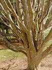 парротия персидская, железное дерево, крымский ботанический сад