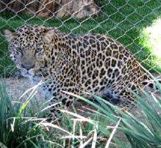 territorial leopard