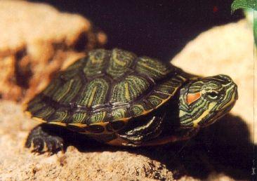 tortugas al ataque