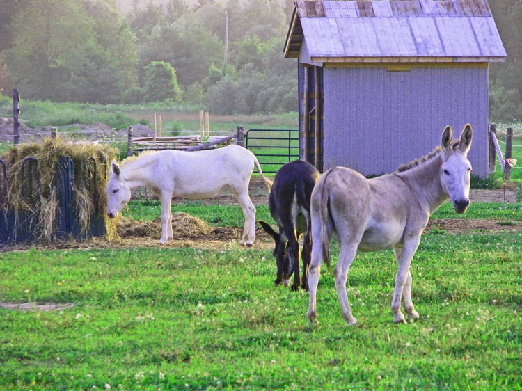 [donkeys+in+the+mist+750]