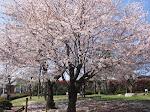 Sakura in Tokyo, April 2010
