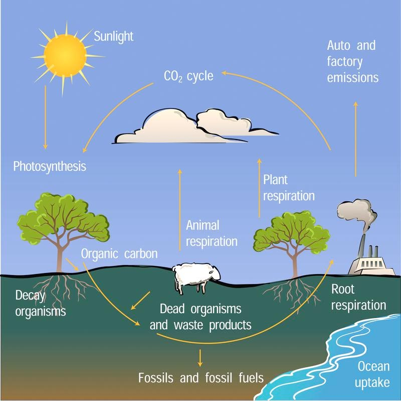 Non Stop Action Carbon Students Will Learn About The Carbon Cycle