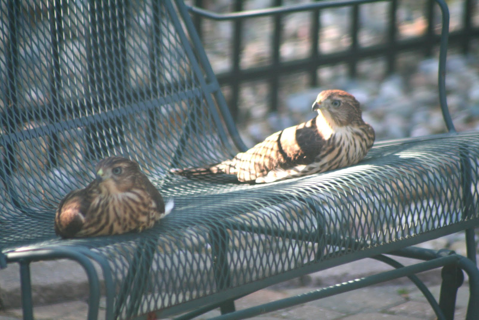 Baby hawk bird - photo#21