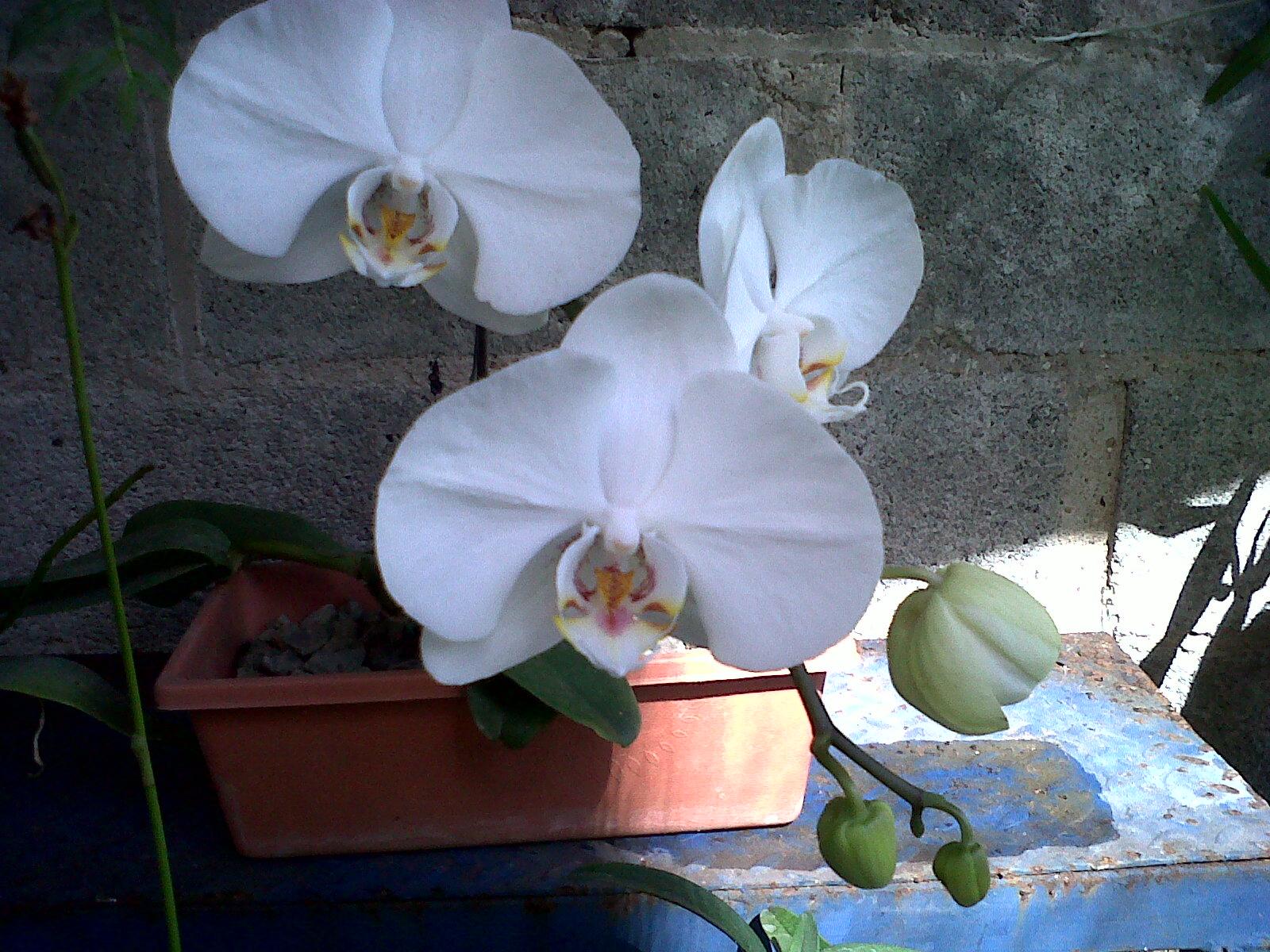 Jardineria k flor orquideas for Cuidados orquideas interior