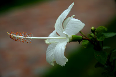 White biscus, a beautiful flower in Qutub Minar ground. There are some gardens around Qutub Minar where you can get a lot other varieties of flowers. Red Biscus was also there.
