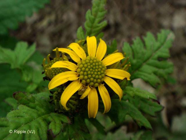 (Kaali Ghati) Shrikhand Mahadev: Beautiful fully open yellow flower on way to Shrikand Mahadev