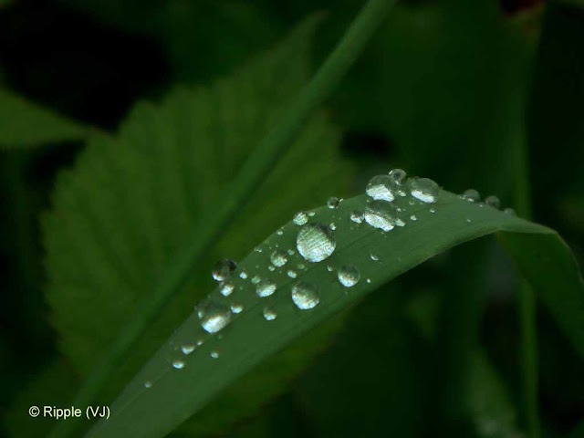 SHRIKHAND MAHADEV: Water droplets on a leaf after rain - shining pearls of beauty