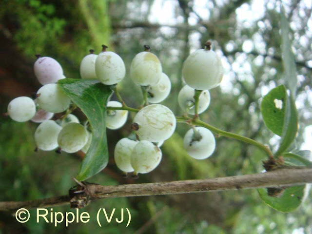 SHRIKHAND MAHADEV: Small white fruit - not sure whether they are edible