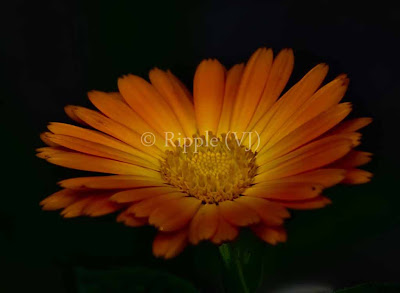 Posted by Ripple (VJ) : Another Flower shot @ RamGanga Resort, Corbett