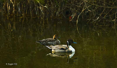 Posted by Ripple (VJ) ; Colorful Birds @ Delhi Zoo : Northern Pintails Again...A couple of Northern Pintails. The one in the front is a male and the one at the back is the female.