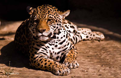 Posted by Ripple (VJ) : Delhi Zoo Revisited : Magnificent Jaguars :  The jaguar is a New World feline and one of four