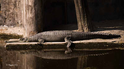 Posted by Ripple (VJ) : Delhi Zoo Revisited :  Alligator Sandwich