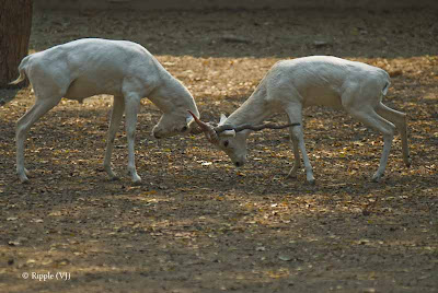 Posted by Ripple (VJ) : Delhi Zoo Revisited : Two white bucks locking horns