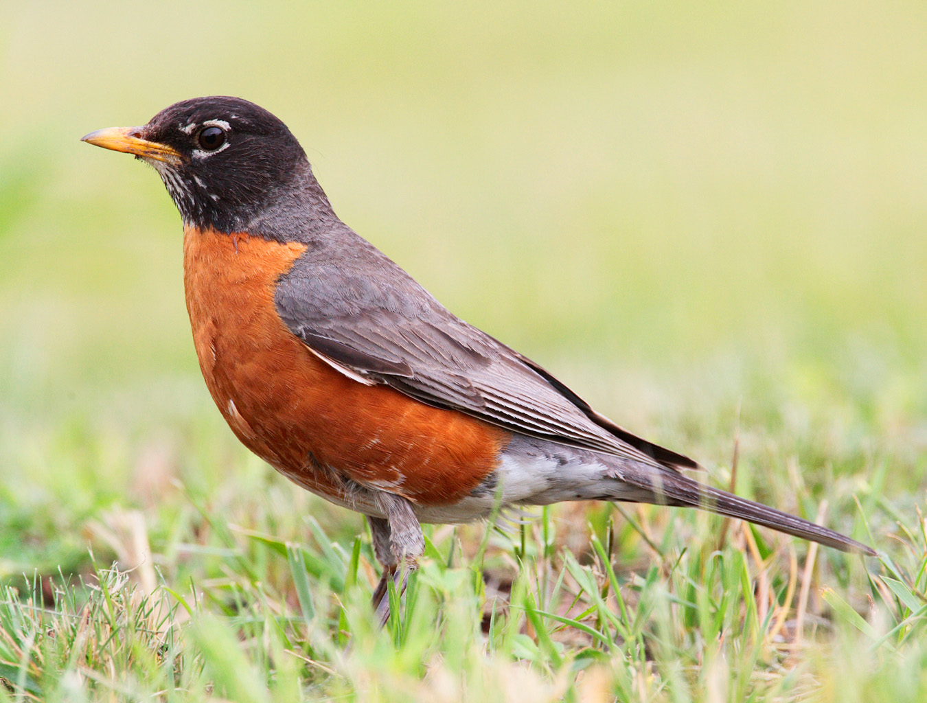 and flycatchers the american robin was named a robin to remind early ...