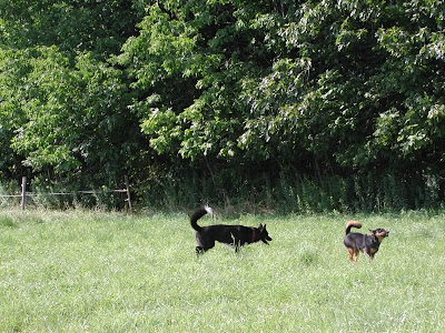 dogs in pasture