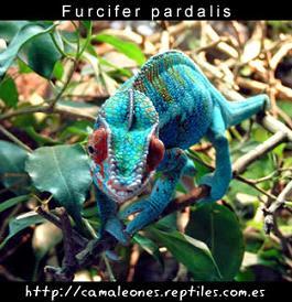 Pulsa:http://camaleones.reptiles.com.es