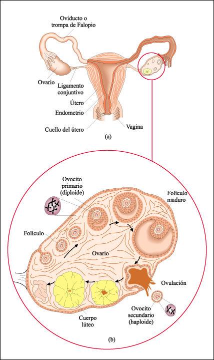 Resultado de imagen de La producción de ovocitos en la mujer es cíclica. Implica tanto la interacción de hormonas como cambios en las células foliculares y en las paredes del útero