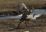 Breeding Pair of Sand Hill Cranes