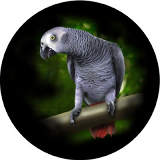 African Silver Grey Parrots Image of Photography Art