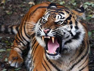 Wild Life Photography: Extinction of Javan Tiger