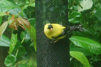 Gold finch on feeder.
