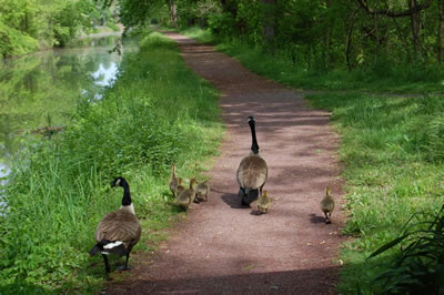 Geese along the canal path, New Hope, Pennsylvania.