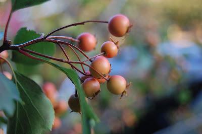 Hawthorne berries.