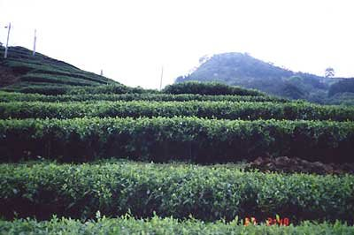 CHINESE  TEA  FIELDS