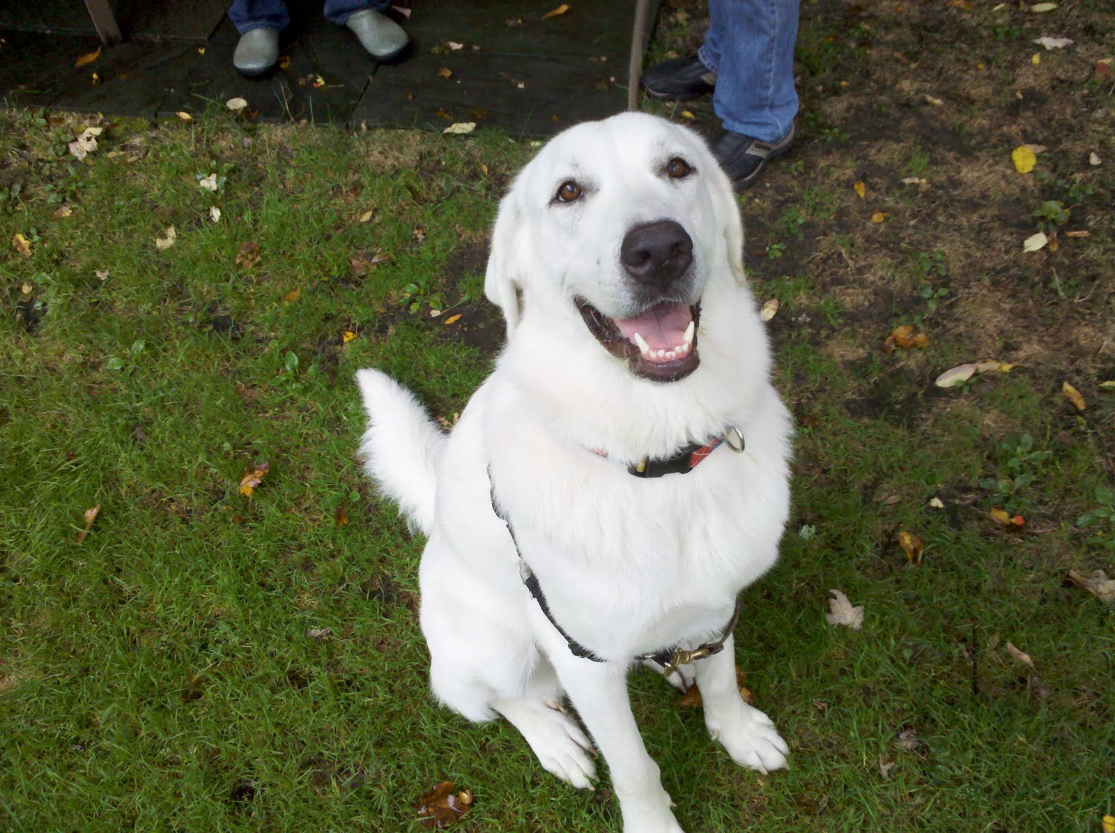 Juliet the Great Pyrenees/Lab Mix