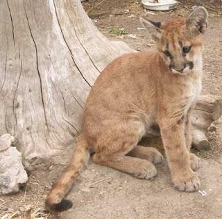 http://1.bp.blogspot.com/_Y3yzoX1NI2s/SqiBna1NxWI/AAAAAAAAAGQ/flO5ASHUnXo/s320/cougar+029.jpg