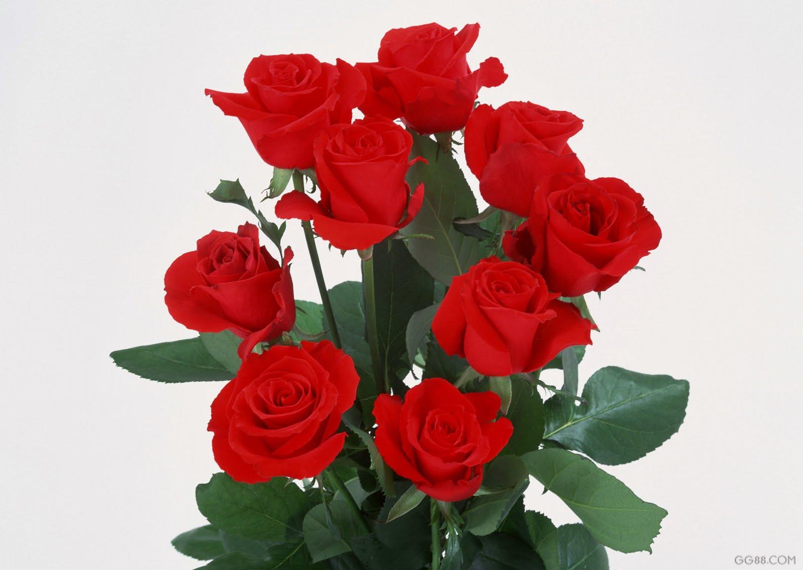 Lindas Rosas Vermelhas ~ ANTIQUE WALLPAPER