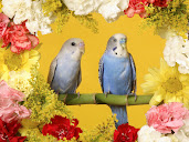 #5 Budgerigar Wallpaper