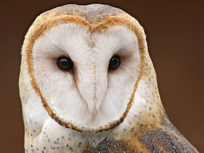 owl wallpaper. masked owl- wallpaper