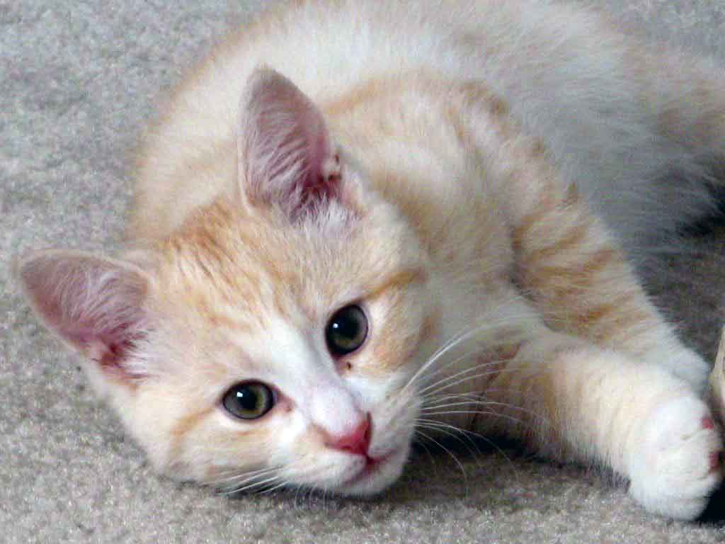 http://1.bp.blogspot.com/_Y9BUyWvT5zc/SwHUr4ViLOI/AAAAAAAAAFY/Tcx6aqLRPws/s1600/cute-cat-laying-on-a-carpet.jpg