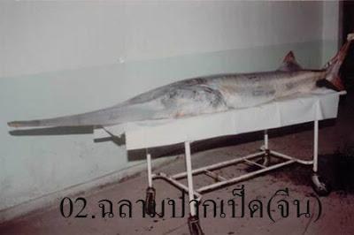 ปลา ฉลามปากเป็ดจีน Chinese paddlefish เป็นปลาน้ำจืดที่หายากที่สุดในโลก