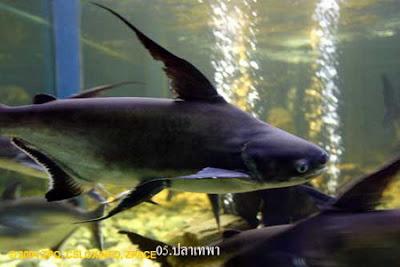 ปลา เทพา
